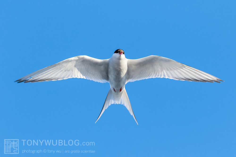 Arctic tern (Sterna paradisaea) in flight in the middle of a beautiful Arctic summer night. This species undertakes an incredible pole to pole migration each year to spend summer in both the northern and the southern hemispheres.