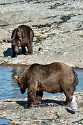 A large adult grizzly bear guards his catch from an encroaching bear at the upper McNeil River falls at the McNeil River State Game Sanctuary on the Kenai Peninsula, Alaska. Bears eat the skin first, then the row eggs before devouring the flesh of the salmon. The remote site is accessed only with a special permit and is the world's largest seasonal population of brown bears.