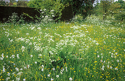 Meadow at Great Dixter with cow parsley (Anthriscus sylvestris), buttercups and Narcissus poeticus var. recurvus - Pheasant's eye narcissus. Emerging Inula foliage in foreground.