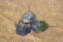Males & Female Horseshoe Crabs Mating