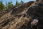 Prairie crocus. Sandliands Provincial Forest. Manitoba. Canada. Landscaoe devastated by ATVs and dune buggies. <br />Winnipeg<br />Manitoba<br />Canada
