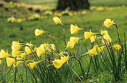 Narcissus bulbocodium var. citrinus - Hoop - petticoat daffodil