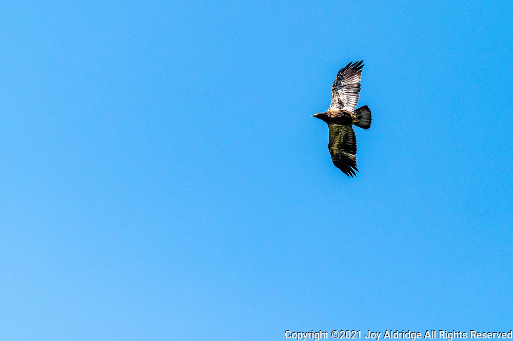 Juvenile Bald Eagle in flight at the Sea Pines Forest Preserve on Hilton Head Island, South Carolina. Image taken by Joy Aldridge with a NIKON Z 6_2 and NIKKOR Z 70-200mm f/2.8 VR S Z TC-2.0x at 145mm, ISO 1000, f8, 1/4000.