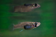 Eastern Mosquitofish<br />