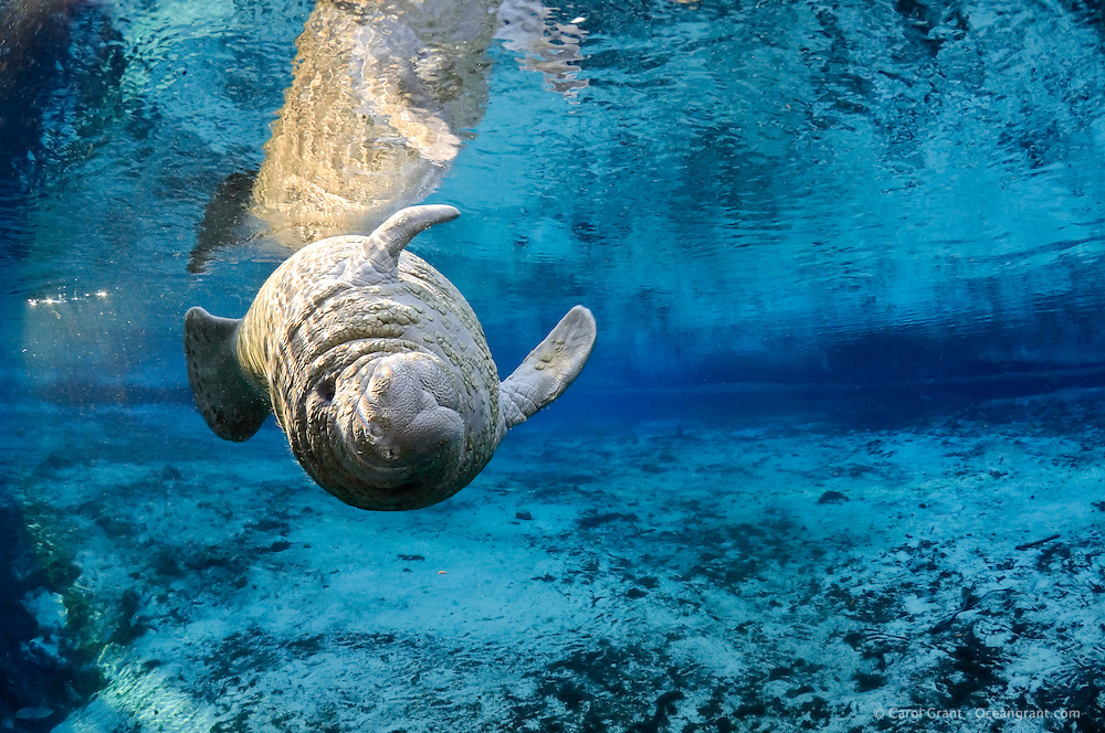 Florida manatee, Trichechus manatus latirostris, a subspecies of the West Indian manatee, endangered. A manatee calf rolls while playing near a warm blue spring. Young manatee often have bumpy skin which they eventually grow out of. The young animal's is lit by rainbow sun rays Peaceful, tranquil and undisturbed scene. Horizontal orientation with blue spring water and sun rays. Three Sisters Springs, Crystal River National Wildlife Refuge, Kings Bay, Crystal River, Citrus County, Florida USA.