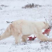 A large male polar bear with the remains of a cub of the year he caught and killed from a female polar bear in the Manitoba Conservation Churchill Wildlife Managment Area. November 20, 2009