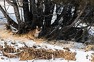 A mountain lion keeping close watch on his territory in the Greater Yellowstone.
