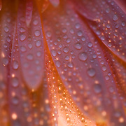 Close up of waterdrops on flower petals.  Lighting below and behind petals for dramatice effect. Part of a gerber daisy flower.  Peach color.