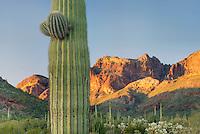 Saguaro Cactus (Carnegiea gigantea), Organ Pipe Cactus National Monument Arizona