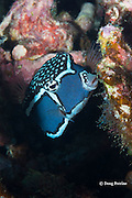 male Whitley's boxfish, Whitley's trunkfish, whitesided boxfish, or pahu, Ostracion whitleyi, Honaunau, Kona, Hawaii ( Big Island ), Hawaiian Islands ( Central Pacific Ocean )
