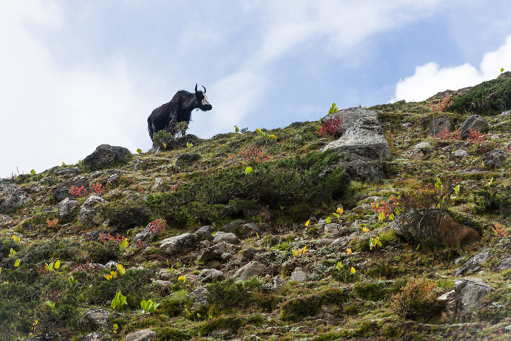 A lone yak on a hillside in the Nepal Himalaya. Photo © robertvansluis.com