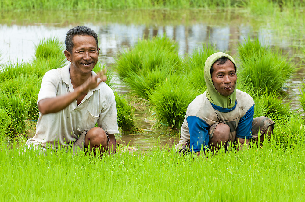 Portrait of rice farming in the Kotamobagu valley of North Sulawesi, Indonesia. The man is harvesting rice seedlings for later planting.
