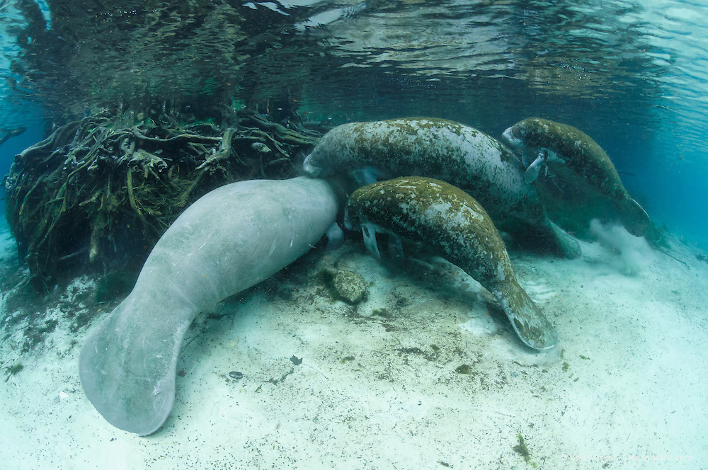 Florida manatee, Trichechus manatus latirostris, a subspecies of the West Indian manatee, endangered. A mother manatee is visiting the submerged tree roots with twin female calves in the warm springs on a cold winter day. Rubbing or chewing on tree roots could be investigation, or it could be scraping of certain root covers for a snack as there is little to eat near the freshwater springs. Twins are rare and these are not documented but evidence suggests they are twins and not a calf plus an adoptee. Another manatee insists on being there too. Rare series. Horizontal orientation. Three Sisters Springs, Crystal River National Wildlife Refuge, Kings Bay, Crystal River, Citrus County, Florida USA.
