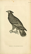 The crested honey buzzard (Pernis ptilorhynchus) (Here referred Pernis ptilonorynchus) to as  is a bird of prey in the family Accipitridae, from volume XIII (Aves) Part 2, of 'General Zoology or Systematic Natural History' by British naturalist George Shaw (1751-1813). Griffith, Mrs., engraver. Heath, Charles, 1785-1848, engraver. Stephens, James Francis, 1792-1853 Published in London in 1825 by G. Kearsley