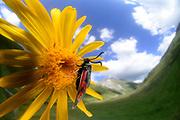 Mountain burnet (Zygaena exulans), Scotch burnet on wolf's bane (Arnica montana), mountain arnica.  High Tauern National Park (Nationalpark Hohe Tauern), Central Eastern Alps, Austria | Hochalpen-Widderchen (Zygaena exulans), Hochalpenwidderchen auf Arnika (Arnica montana) Jagerhaus Alm, Nationalpark Hohe Tauern, Osttirol in Österreich