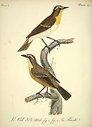 Col D'Or from the Book Histoire naturelle des oiseaux d'Afrique [Natural History of birds of Africa] Volume 3, by Le Vaillant, François, 1753-1824; Publish in Paris by Chez J.J. Fuchs, libraire 1799 - 1802