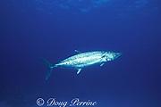 king mackerel or kingfish, Scomberomorus cavalla, Bahamas ( Western Atlantic Ocean )