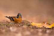 Brambling (Fringilla montifringilla) on the ground. The brambling is a type of finch that is very similar in appearance to chaffinches (Fringilla coelebs and Fringilla teydea). It is widespread throughout the forests of northern Europe and Asia, and feeds predominantly on seeds and insects. Photographed at the Ein Afek nature reserve, Israel in November
