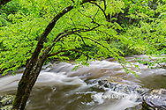 66745-04520 Middle Prong Little River in spring Great Smoky Mountains National Park TN