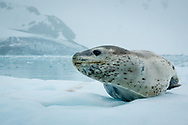A leopard seal hauled out on the ice in False Bay, Livingston Island, Antarctica