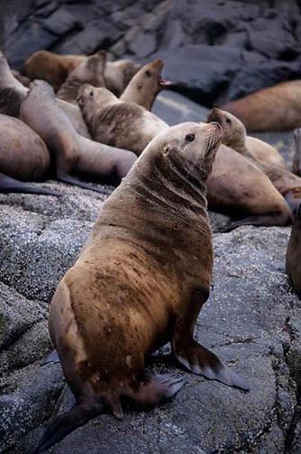 Northern Fur Seal, (Callorhinus ursinus)  Sunning on rocks in Southeast  Alaska.