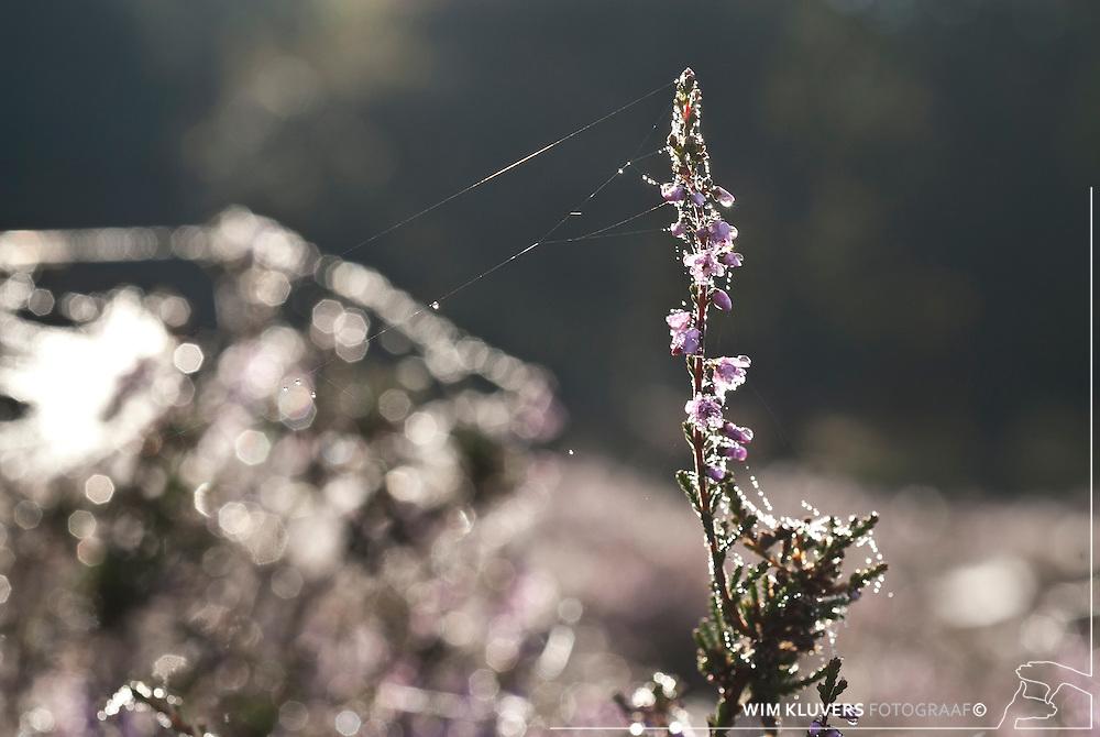 WK20100905-016.NEF.Natuur,Tafelbergheide,spinnenweb