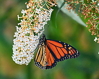 Monarch feeding on a Butterfly Bush.Image taken with a Leica SL2 camera and Sigma 150-600 mm Sport lens.