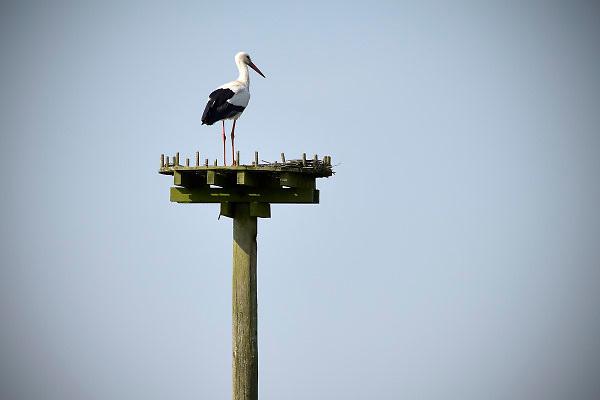Nederland, Wolvega, 22-5-2018Ooievaar zonder nest .Foto: Flip Franssen