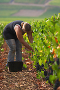 pinot noir harvesting vineyard beaune cote de beaune burgundy france