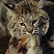 Bobcat (Lynx rufus) adult with mountain cottontail prey.  Captive Animal.