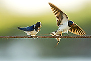 Barn swallows (Hirundo rustica) perched on a wire. Swallows are seasonal visitors to the northern hemisphere, migrating long distances south in the winter. They breed in North America and Eurasia, building a mud bowl nest on the wall or roof of a building or inside caves. Swallows inhabit open country near water and are strong and accomplished fliers, spending much of their time airborne, feeding on flying insects. Photographed in Israel in March
