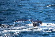 Humpback whale, Megaptera novaeangliae, fluking and splashing in the North West Atlantic Ocean, Massachusetts, USA