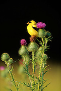 Goldfinch resting on thistle - Wisconsin.