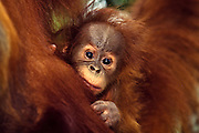 Sumatran orangutan (Endangered Species)