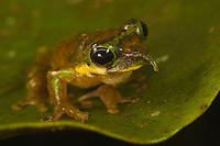 Long-nosed frog (Litoria sp nov) on the edge of a leaf.<br />new species