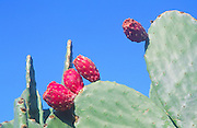 Prickly pear cactus fruit growing on plant Sicily, Italy against blue sky