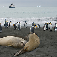 King Penguins and Southern Elephant Seals relax on a beach at Gold Harbor, South Georgia, Antarctica. Behind them is the cruise ship National Geographic Endeavor.