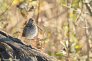 The Wilson's Snipe turned to give us a close look at its large pectoral muscles. This bird is capable of shotting to top speeds from a standing point and then zig zagging away from a prospecrtive predator.