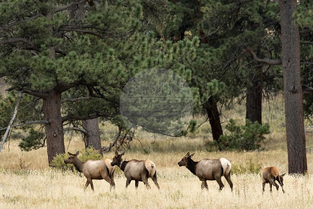 A herd of elk run across a field in Grand Teton National Park near Moose, Wyoming.