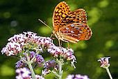 Great Spangled Fritillary / Speyeria cybele