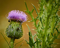 Thistle. Image taken with a Nikon N1V3 camera and 70-300 mm VR lens