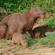 Capybara (Hydrochaeris hydrochaeris) Largest rodent in the world. Mother with young. Pantanal. Brazil.