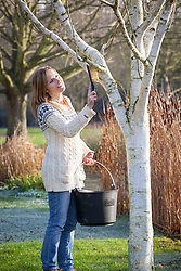 Cleaning a silver birch trunk with a brush. Betula.