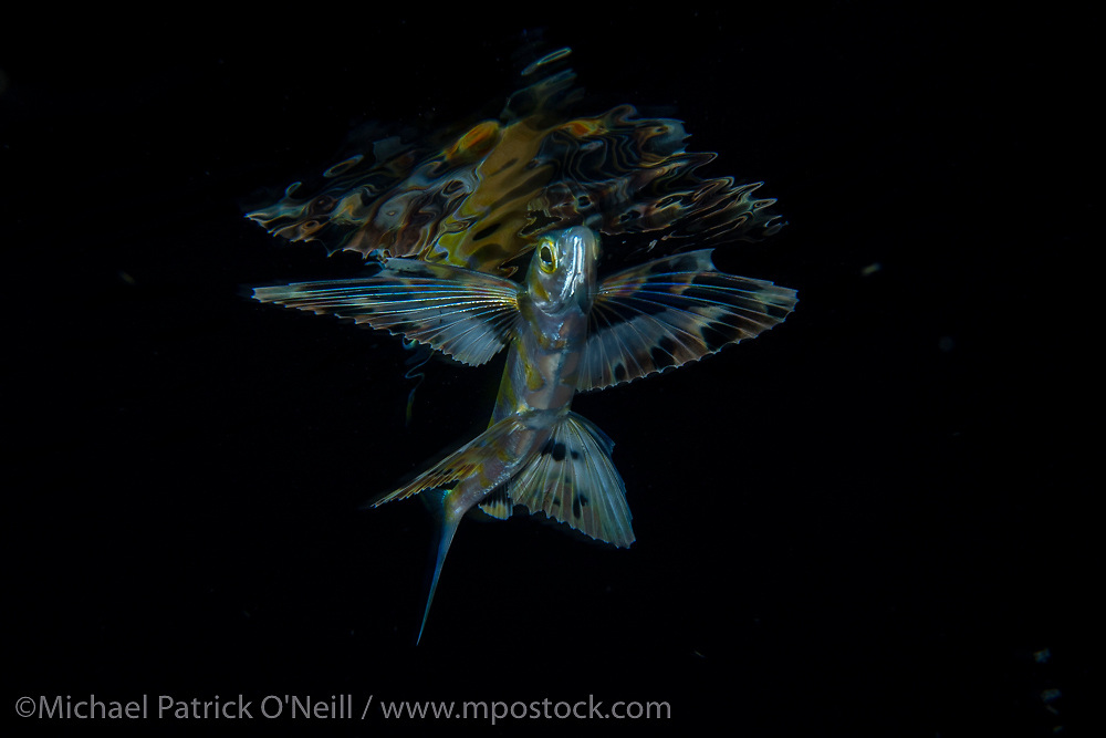 An unidentified Flying Fish swims just below the surface at night far offshore the Palm Beach, Florida, United States coastline.