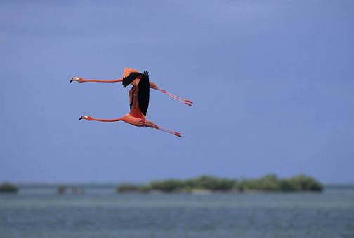 West Indian or Caribbean Flamingo, (Phoenicopterus ruber ruber) Great Inagua, Bahamas.