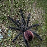 A tarantula spider climbs a tree trunk in Peru's Amazon Jungle.