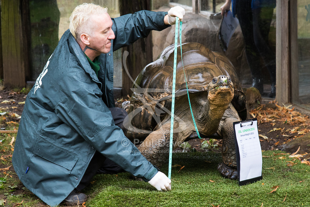 ZSL London, August 26th 2015. Zookeeper Sebastian Grant weighs and measures a Giant Galapagos Tortoise as ZSL London holds its annual weigh-in of  animals.