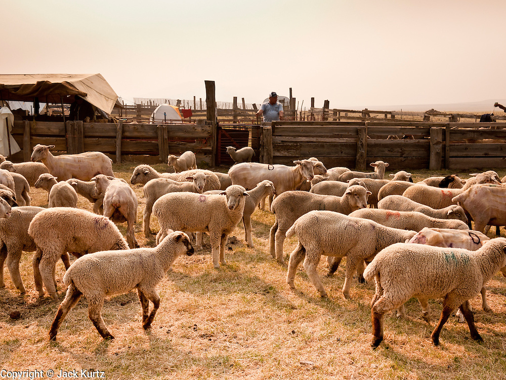 """05 JUNE 2011 - GREER, AZ: Mark Pedersen (CQ) sorts shorn sheep at the Sheep Springs Sheep Co camp northwest of Greer Sunday. Mark Pedersen (CQ), of Sheep Springs Sheep Co, said they drove about 2,000 sheep from Chandler up to their summer pastures near Greer. They were supposed to start shearing on Friday, but didn't start till Friday because of the Wallow Fire. They also run cattle on land southeast of the sheep pasture, closer to Greer. Pedersen said they were prepared to move both the cattle and the sheep if they had to. He said the biggest problem with the smoke was that it bothered the sheeps' lungs much the same way it bother people's lungs. The fire grew to more than 180,000 acres by Sunday with zero containment. A """"Type I"""" incident command team has taken command of the fire.   PHOTO BY JACK KURTZ"""