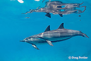 Hawaiian spinner dolphins or Gray's spinner dolphin, Stenella longirostris longirostris, mother with calf, off Kamakahonu, Kailua Pier, Kamakahonu, Kailua Kona, Hawaii ( the Big Island ), USA ( Central Pacific Ocean )