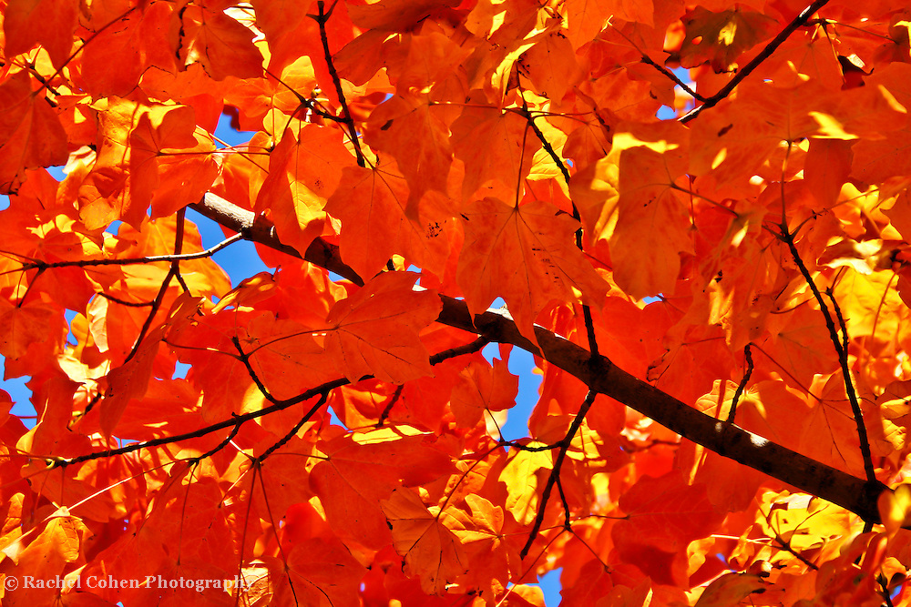 """""""Maple in Orange""""<br /> <br /> This is about as vibrant of an autumn image as you'll ever see! Amazing and brilliant orange sun bathed leaves, contrasted with the darkness of the branches, and a gorgeous blue sky, bring this vision to life!!<br /> <br /> Fall foliage by Rachel Cohen"""